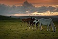 Ponies at Sunset, Dartmoor.jpg