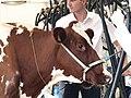 Pontivy concours bovin tête Pie Rouge des Plaines 2.jpg