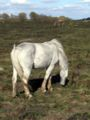 Pony grazing on yew tree heath.JPG