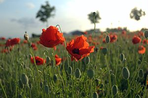 Poppies Field in Flanders