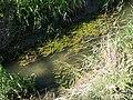 Potamogeton nodosus sl18.jpg