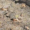 Prague Zoo - Hemitragus jemlahicus 1.jpg