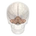 Primary fissure of cerebellum -- 01.png