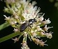 Probably Lasioglossum cupromicans (38227906735).jpg