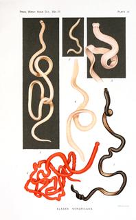 <i>Tubulanus polymorphus</i> species of worm