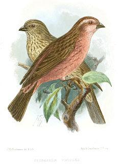 Pink-rumped rosefinch species of bird