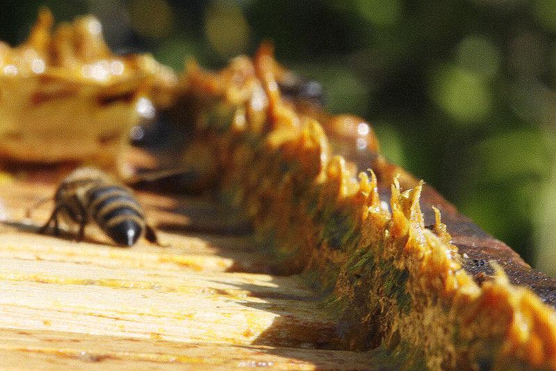 Fichier:Propolis in beehives.jpg