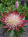 Protea flowers - open & closed.jpg