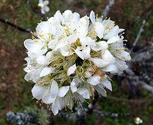 220px-Prunus_cerasoides_-_white%2C_Chiang_Mai%2C_Thailand.jpg