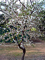 Prunus dulcis DehesaBoyal2.jpg