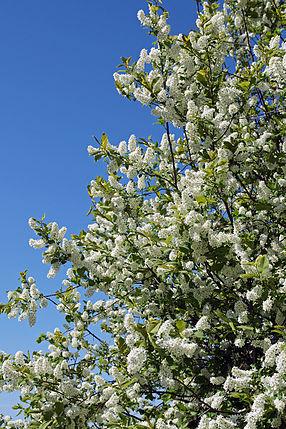 Prunus padus Rauma.jpg