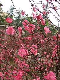 Prunus persica (Nhat Tan) 4.jpg