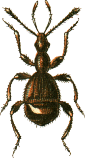 <i>Pselaphus</i> genus of insects