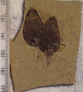 <i>Pseudolarix wehrii</i> Extinct species of conifer