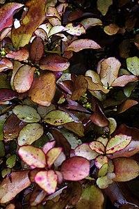 Pseudowinteracolorata