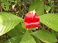 Psychotria elata - FLOR BESO.jpg