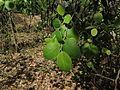 Pterocarpus santalinus 06.JPG