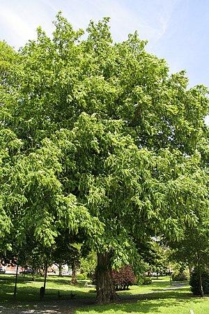 Pterocarya fraxinifolia - Image: Pterocarya fraxinifolia JPG3a