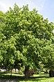 Pterocarya fraxinifolia JPG3a.jpg