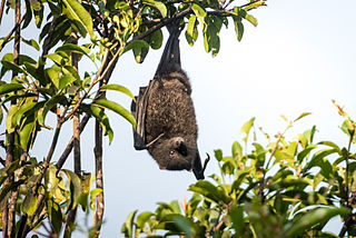 <i>Pteropus natalis</i> species of mammal, venacular name(s): Christmas Island Flying-fox