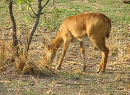 Puku - Female, in South Luangwa National Park - Zambia.jpg