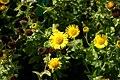 Pulicaria-dysenterica-flowers.JPG