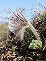 Pulsatilla pratensis (subsp. nigricans) sl35.jpg