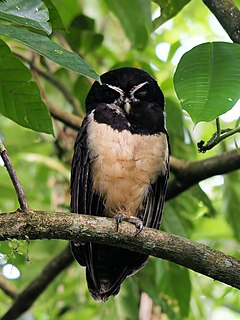 Spectacled owl species of bird