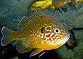 Pumpkinseed (Lepomis gibbosus) (13533753654).jpg