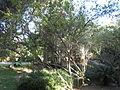 Punica granatum 'flore plene' - Jardin d'Éden 4.JPG