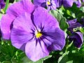 Purple pansy flower.jpg