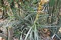 Puya glabrescens plant.jpg