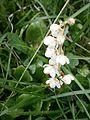 Pyrola rotundifolia RHu 02.JPG