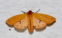 Pyrrharctia isabella – Isabella Tiger Moth (14842796231).jpg