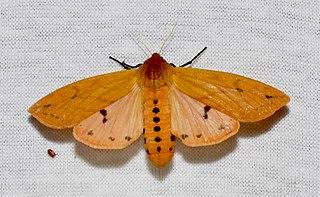 <i>Pyrrharctia isabella</i> Species of insect