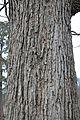Quercus macrocarpa (23871879520).jpg