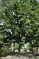 Quercus macrocarpa (23929142080).jpg