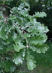 Dub plstnatý - listy