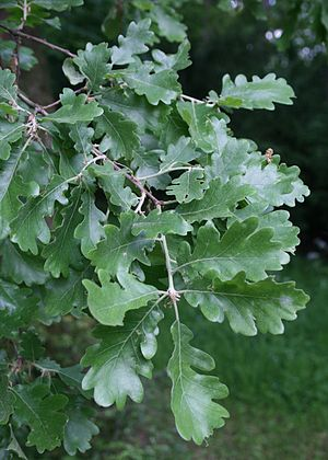 Quercus pubescens - Image: Quercus pubescens 1