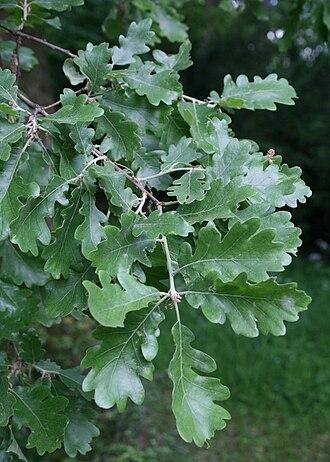Quercus pubescens - Leaves