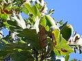 Quercus pyrenaica EnfoqueBellotas 2010-9-29 DehesaBoyaldePuertollano.jpg