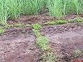 Quero Quero e Filhote (Vanellus chilensis) perto do Canavial - panoramio.jpg