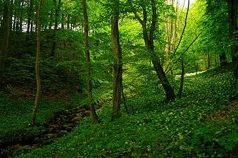 Rövarekulan Forest.jpg
