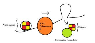 RNA polymerase - RNA Polymerase II Transcription: the process of transcript elongation facilitated by disassembly of nucleosomes.