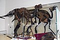 ROM 39 - Edmontosaurus (14358703974).jpg