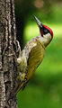 RO B Carol Park green woodpecker crop.jpg