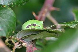 Raganella italiana (Hyla intermedia) - Italian tree frog, Milano, Italia, 09.2018 (3).jpg