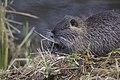 Ragondin (Myocastor coypus) - 6107.jpg