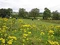 Ragwort, Moyle Glebe - geograph.org.uk - 1447798.jpg