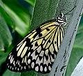 Rain Forest Butterfly - geograph.org.uk - 76682.jpg